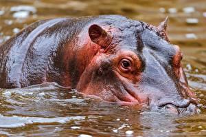 Картинка Гиппопотамы животное