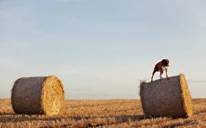 Фото Собаки Боксера Боксёр на сене животное