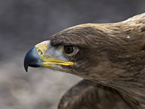 Картинки Птица Орлы Клюв голова Животные
