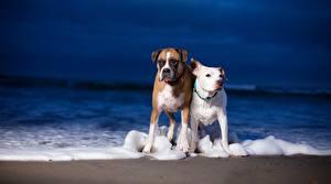 Фотографии Собака Боксер Амстафф животное