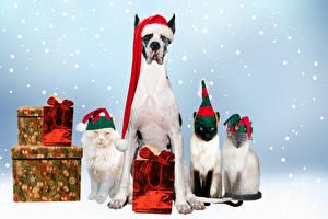 Картинка Собаки Коты Рождество Шапки Подарки Немецкий дог Животные