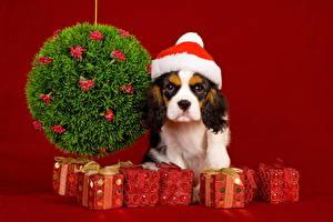 Картинка Собаки Рождество Подарки Шапки Взгляд Кинг чарльз спаниель Животные