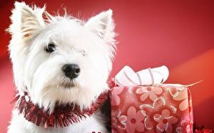 Фотографии Собаки Подарки Смотрит Вест хайленд уайт терьер Животные