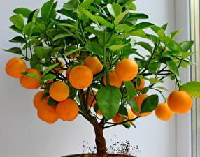 Обои Фрукты Цитрусовые Мандарины Листья Деревья