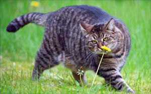 Фотография Кошки Одуванчики Взгляд Трава Усы Вибриссы Толстый Животные