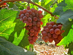 Фотография Фрукты Виноград Ветка Листья Продукты питания