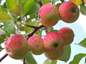 Картинки Фрукты Яблоки Листья Ветки Еда