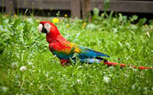 Фотография Птицы Попугаи Ара (род) Трава