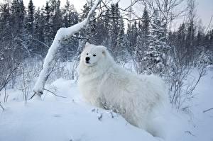 Картинки Собаки Сезон года Зимние Белый Снег Пушистый Самоедская собака Животные Природа