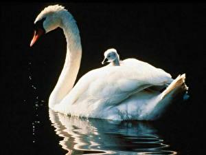 Обои Птицы Лебеди На черном фоне животное