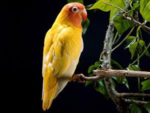Картинки Птицы Попугаи На черном фоне животное