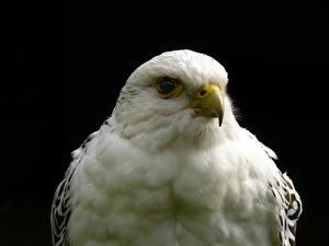 Картинка Птицы Ястреб Черный фон животное